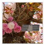Prunus serrulata by Frostola