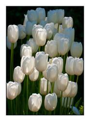 White Tulips Aglow by Frostola