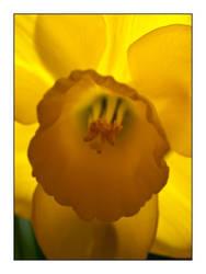 Daffodil Aglow by Frostola