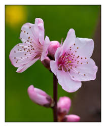 Peach Tree Blossom by Frostola