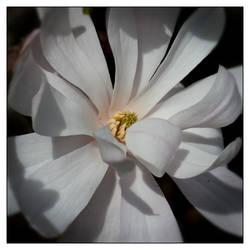Star Magnolia by Frostola