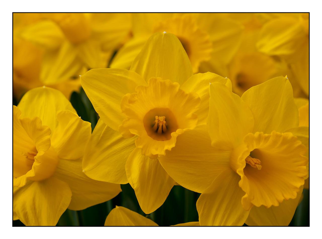 Daffodils Three by Frostola