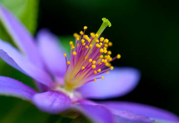 Purple Blossom by Frostola