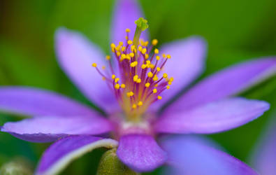 Purple Blossom 2 by Frostola