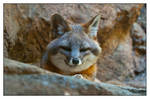 Sly Fox is Sly