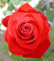 Rose by Frostola