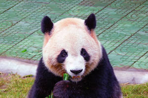 Panda by Frostola