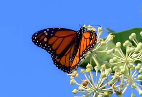Butterfly by Frostola