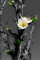 Tree Blossoms 3 by Frostola