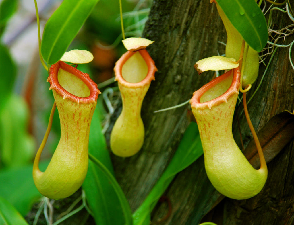 Carnivorous plants by xxlea68xx on deviantart for Plante carnivore