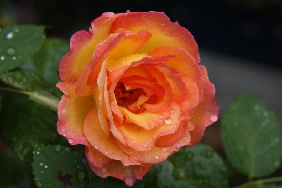 Beautiful Orange Pink Rose of Abbey Streey, Bermondsey ...   Orange And Pink Roses