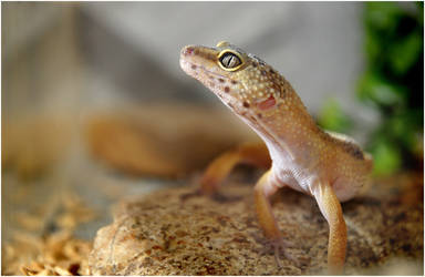 gecko by MarcinG1