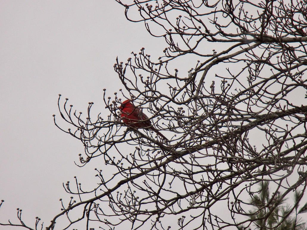 cardinal by sunbeamfireking