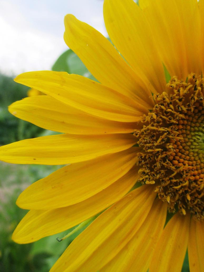 sunflower by sunbeamfireking
