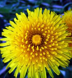 dandelion by sunbeamfireking