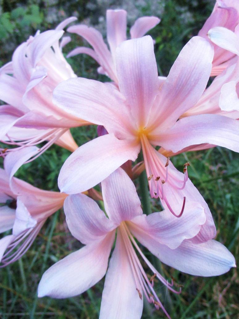 Magic lily by sunbeamfireking on deviantart magic lily by sunbeamfireking izmirmasajfo