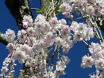 weeping cherry bloom