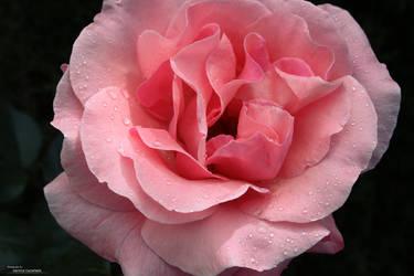 Una rosa es una rosa II ----'--,--@ by DeSSiTa