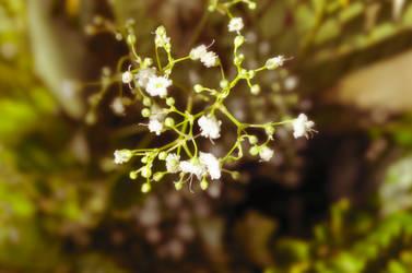 Gypsophila - It Glows