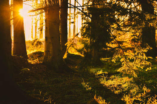 Forest Sunset II