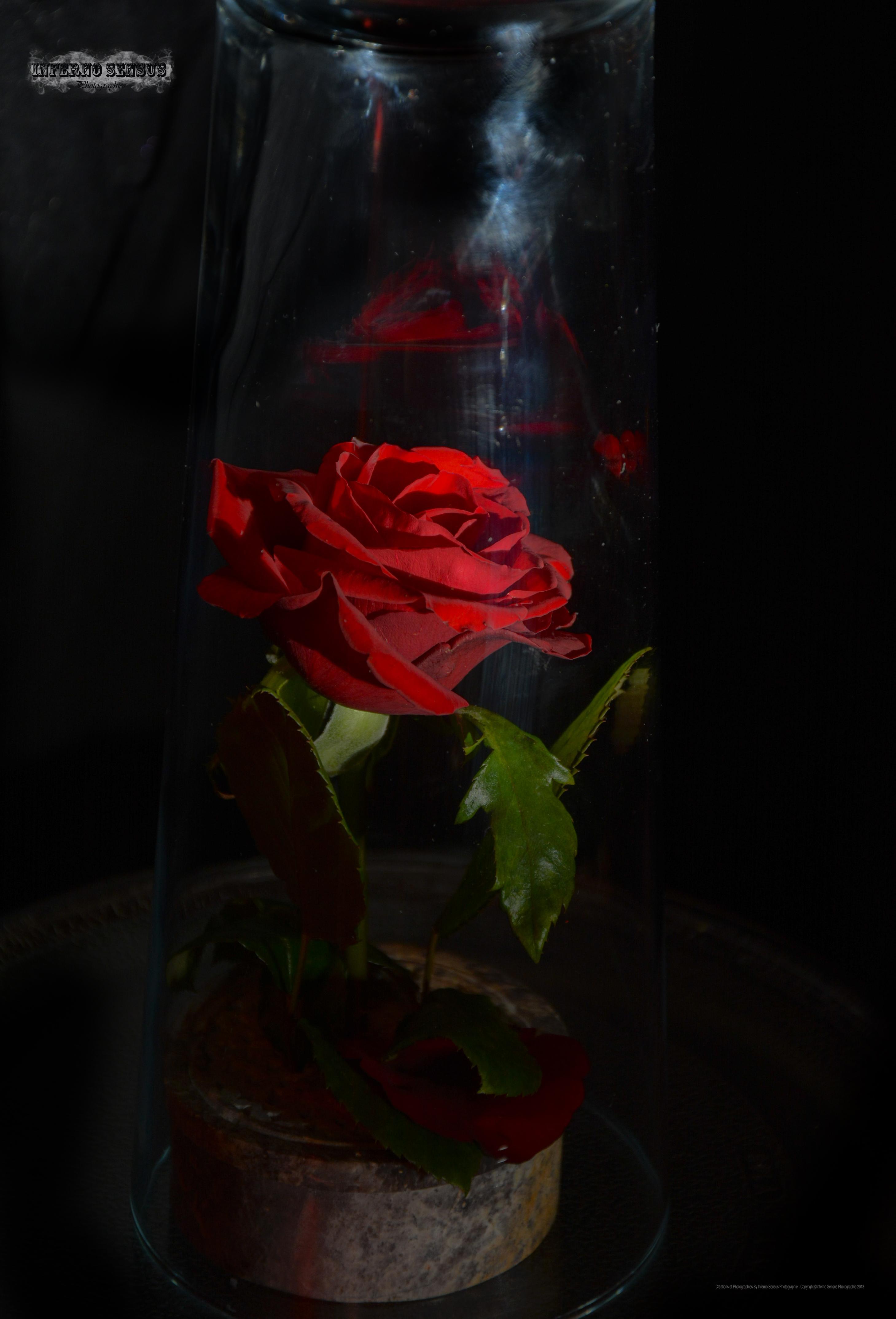 la rose de la belle et la bete 1 by inferno sensus on deviantart. Black Bedroom Furniture Sets. Home Design Ideas