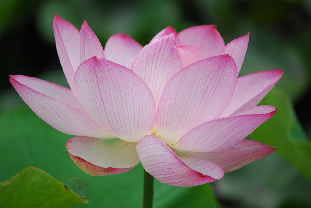 Lotus by kurozukume