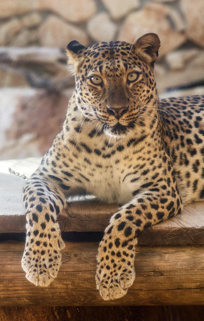 Leopard by IrenaDem