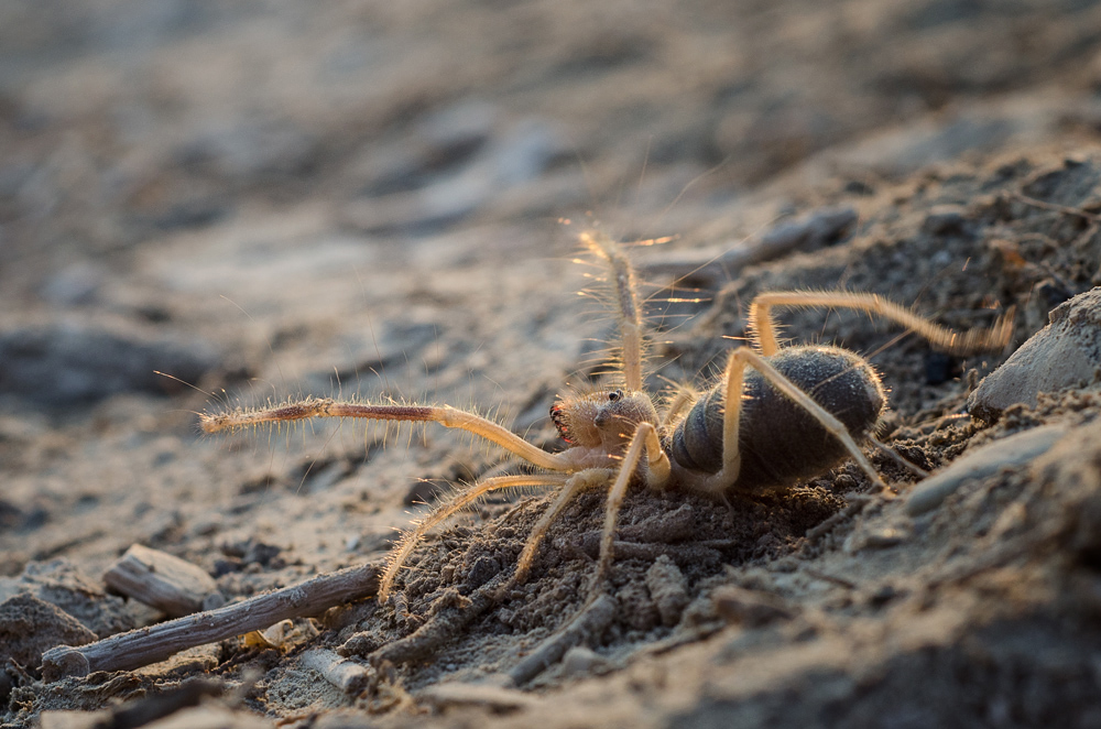 Camel Spider by IrenaDem