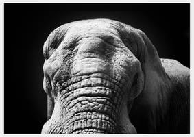 Elephant Gaze