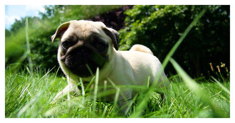 Little pug by Nyori