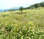 Flower field pano stock