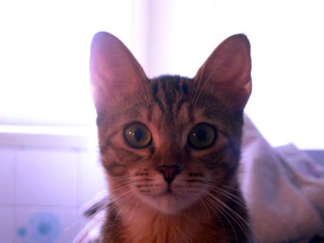 Cat front face portrait stock