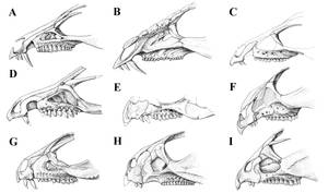 Basal Marginocephalia Snouts by Qilong