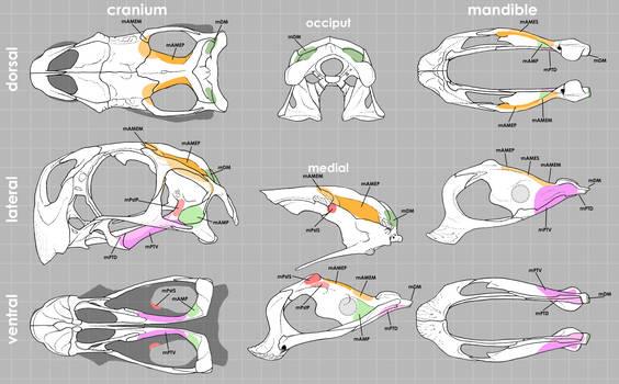 Conchoraptorine Skull Muscle Maps