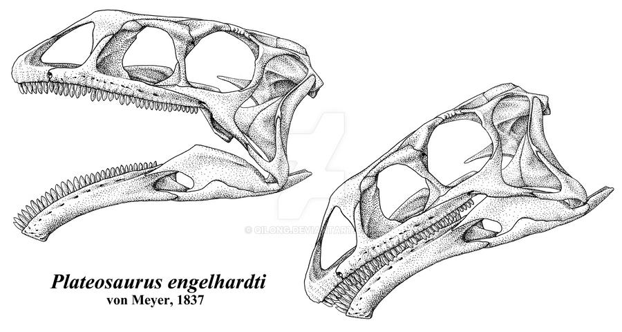 Plateosaurus engelhardti skull by Qilong