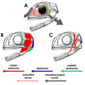 Anurognathus ammoni Cranial Tissues