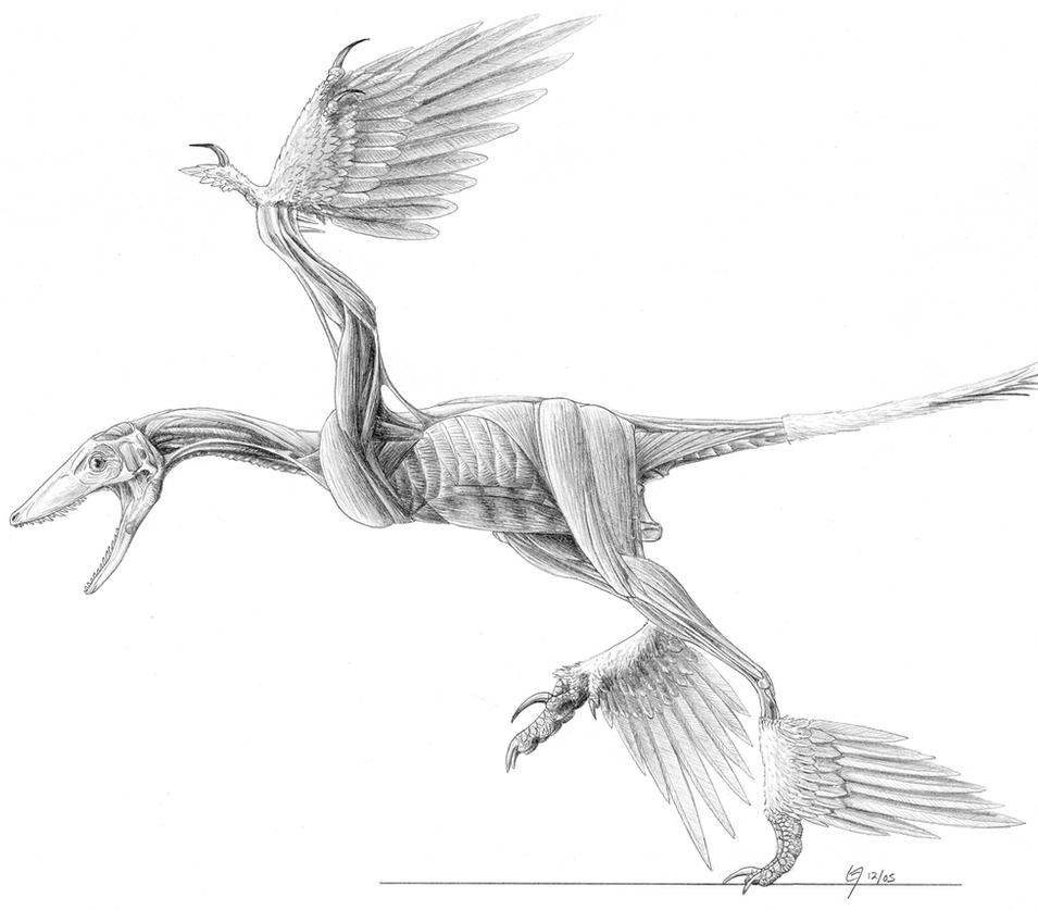 Microraptor Muscle Study by Qilong on DeviantArt
