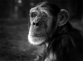 portrait of a chimp by lizzybee