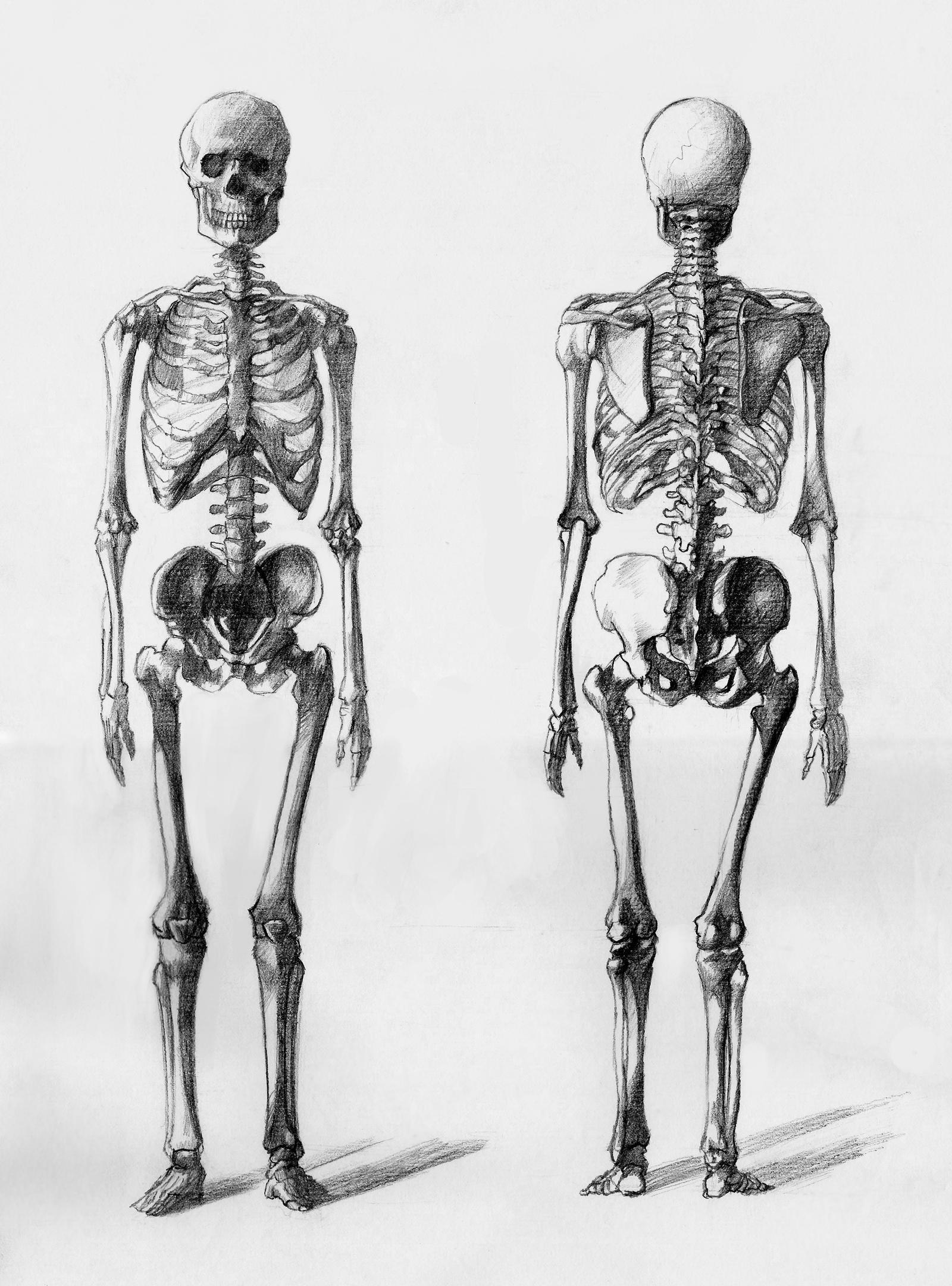 Bones Study By Daandric On Deviantart