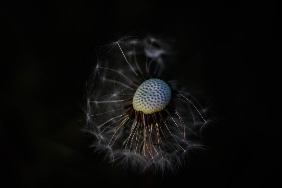 Dandelion by LukaStevens