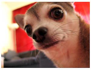 Pate Chihuahua