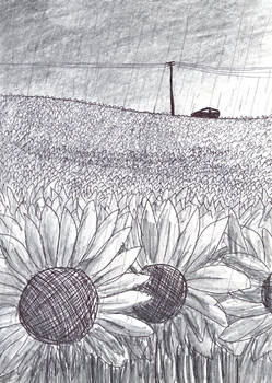Field of Dying Sunflowers