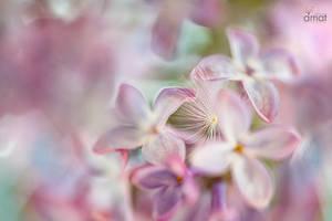 Parfum de lilas...