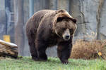 Brown Bear 001