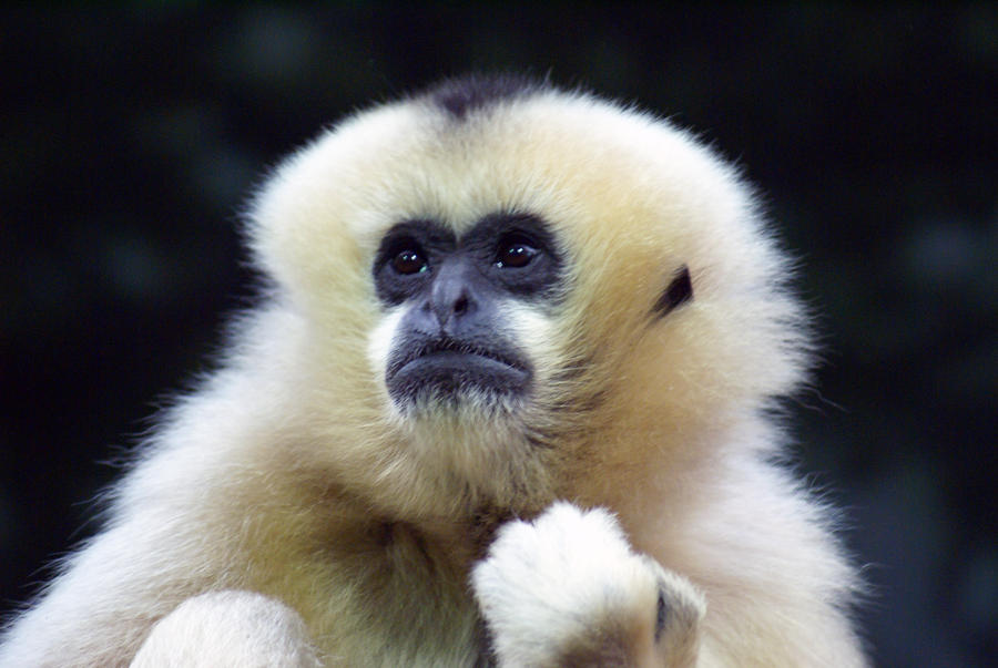 Gibbon 001 by MonsterBrand-stock