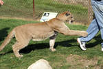 Cougar 001