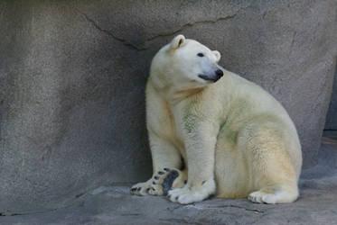 Polar Bear 008 by MonsterBrand-stock