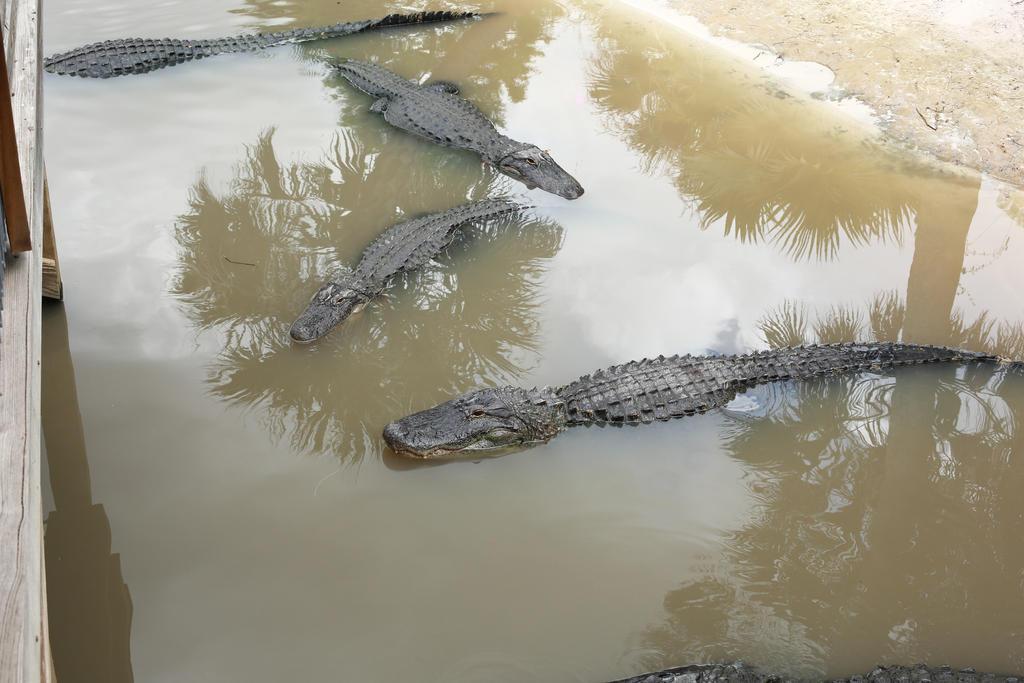 Alligator 004 by MonsterBrand-stock