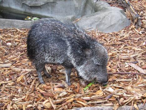 Elderly Piggo