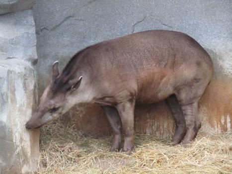 Tapir Nuzzle